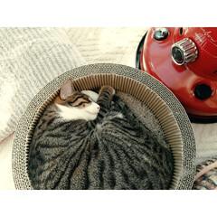 保護猫出身/保護猫/ほっこり/可愛い/ねんね/キジ白/...  マッシュ気持ちよさそう💕
