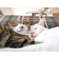 家族/仲良し/ねんね/元保護猫/にゃんこ/猫/...   今日も寝る兄弟😸😸  マッシュとマロ…