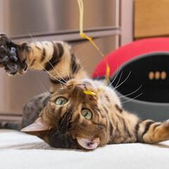 bengalcat/ベンガル猫/伊吹/ねこ/LIMIAペット同好会/ペット/... ペットの名前:伊吹  ごろ〜んてしたまま…