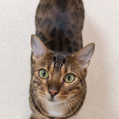 bengalcat/ベンガル猫/伊吹/LIMIAペット同好会/ねこ/ペット/... ペットの名前:伊吹  見上げた顔の可愛さ…