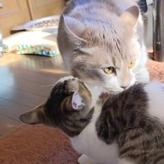 兄弟猫/キジトラ/出戻りねこ/多頭飼い/長毛猫/キジシロ/... ハク、昨日 お迎えに行って来ました☺ ハ…(3枚目)