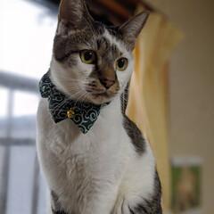 ニャンコ同好会/ペット同好会/保護猫/キジシロ 胃腸炎で通院中だったぜんちゃん💦 完全復…