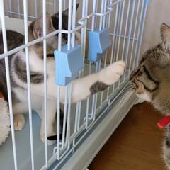 兄弟猫/キジトラ/出戻りねこ/多頭飼い/長毛猫/キジシロ/... ハク、昨日 お迎えに行って来ました☺ ハ…(4枚目)