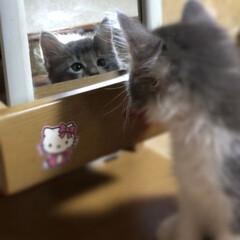 ちびアポロ/ペット同好会/ニャンコ同好会/鏡に興味津々/長毛猫/保護猫 キミは誰❓😸❓