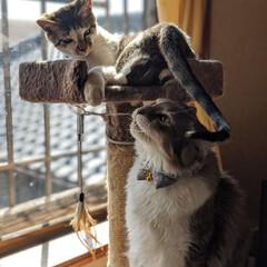 ペット同好会/にゃんこ同好会/長毛猫/キジシロ/多頭飼い/兄弟猫/... 落ちないように気をつけてにゃん😸