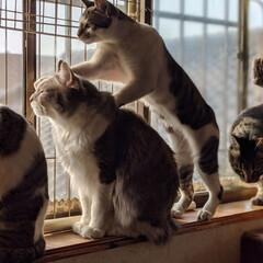 ペット同好会/にゃんこ同好会/長毛猫/キジシロ/兄弟猫/多頭飼い/... お客さん、凝ってますにゃ😸 ついでに、頭…