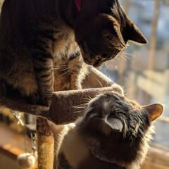 にゃかよし兄弟/ペット同好会/にゃんこ同好会/長毛猫/キジトラ/兄弟猫/... お兄ちゃん、遊ぼ😸🎶