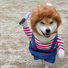 柴犬/わんこ同好会/LIMIAぺット同好会 ぼく…… ………… ……………キャハハハ…