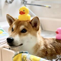あひるのおもちゃ/お風呂/柴犬/わんこ同好会/LIMIAぺット同好会 ぼく定春▼・ᴥ・▼🎶 ✴︎ ぼくはアヒル…