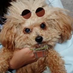 トイプードル/愛犬/LIMIAペット同好会/ペット/犬/わんこ同好会/... アプリで遊ばれてる愛犬ムウ(笑)(1枚目)
