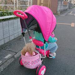 散歩/三輪車/トイプードル/愛犬/LIMIAペット同好会/ペット/... 我が家の愛犬、散歩で歩き疲れると昔から三…(1枚目)