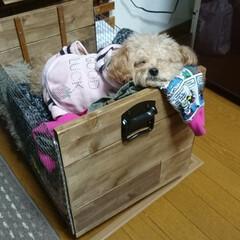 ペット/愛犬/トイプードル/ベジタブルボックス/DIY/焼き網/... DIYしたベジタブルボックスで爆睡の愛犬♪