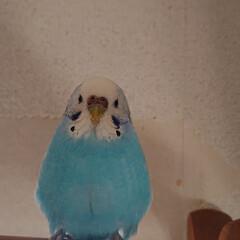 癒し/鳥/セキセイインコ/LIMIAペット同好会/ペット/うちの子ベストショット たまごみたいなピーちゃん(青) しゅっと…(1枚目)