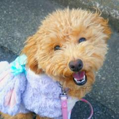 smile/お散歩/トイプードルの女の子/笑顔/トイプードル/はじめてフォト投稿/... 散歩中に📷を向けたら…すごい笑顔か撮れま…