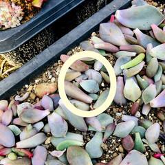 葉挿し 葉挿しの経過! ちらほら、芽が‼︎ この…(3枚目)