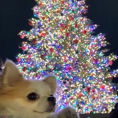 イルミネーション/バカラ/お散歩/プリンス/わんこ同好会/クリスマス/... キラキラ綺麗だね❤️