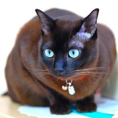 うちの子自慢/うちの子ベストショット 瞳に青い宝石を持った我が家の愛猫です