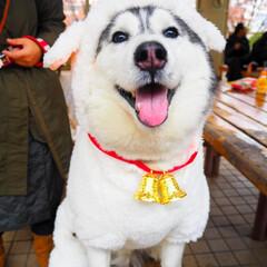 ペット/わんこ同好会/ハスキー/大型犬/羊/仮装 クリスマスは羊さんの格好をしました🐑🎄
