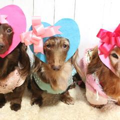 ダックス/ミニチュアダックス/ダックス多頭飼い/多頭飼い/バレンタイン犬/ダックスレッド/... バレンタイン犬です♡ 去年のバレンタイン…