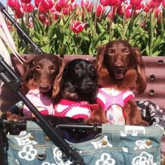 犬好きな人と繋がりたい/犬好き/わんこなしでは生きていけません/ワンコ/わんこ/いぬ/... 5月5日 チューリップ見てきました🌷