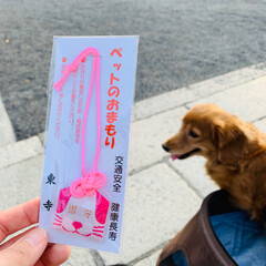 シニア犬/ミニチュアダックス/春のフォト投稿キャンペーン/LIMIAペット同好会/フォロー大歓迎/ペット/... マリンの手術が成功しますように!と去年京…(2枚目)