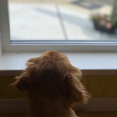 ミニチュアダックスフンド/犬/フォロー大歓迎/LIMIAペット同好会/わんこ同好会/至福のひととき/... 時間を忘れて 外をボーッと眺めるのが 私…(4枚目)