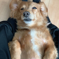 ミニチュアダックス/シニア犬/ミニチュアダックスフンド/春のフォト投稿キャンペーン/LIMIAペット同好会/フォロー大歓迎/... マッサージが気持ちよすぎてこのまま寝そう…