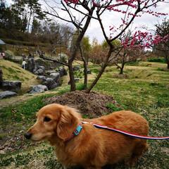 けいはんな公園/LIMIAペット同好会/LIMIAおでかけ部/フォロー大歓迎/ペット/ペット仲間募集/... 桜はまだ咲いていなかったけど 梅が綺麗で…(3枚目)