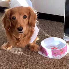 デカチュアダックス/シニア犬/ミニチュアダックスフンド/催促犬/LIMIAペット同好会/フォロー大歓迎/... ご飯が欲しい時は 入れ物をひっくり返して…