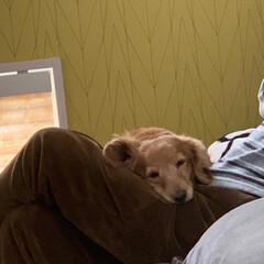 ミニチュアダックスフンド/LIMIAペット同好会/ペット/ペット仲間募集/犬/わんこ同好会/... お気に入りの寝床はお父さんの膝の上~♪(2枚目)