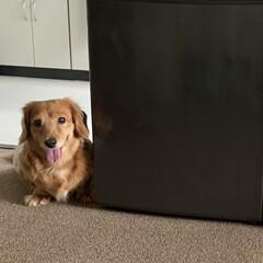 LIMIAペット同好会/フォロー大歓迎/ペット/ペット仲間募集/犬/わんこ同好会/... 横の冷蔵庫にわたしのおやつ入ってるの知っ…