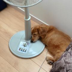 フォロー大歓迎/LIMIAペット同好会/わんこ同好会/LIMIA/夏模様 クーラーで冷えた 扇風機のココが冷たくて…