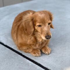 愛犬/わんこ/デカチュアダックス/ミニチュアダックス/シニア犬/ミニチュアダックスフンド/... 外に出ると眩しくて 目が半分🤔 白内障の…(3枚目)