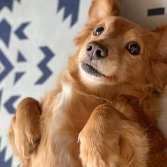 愛犬/わんこ/シニア犬/ミニチュアダックスフンド/フォロー大歓迎/ペット/... おばけポーズ