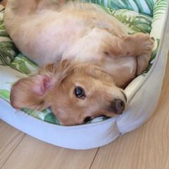 犬/シニア犬/ミニチュアダックス/令和元年フォト投稿キャンペーン/フォロー大歓迎/LIMIAペット同好会/... 冷え冷えベッド買ってもらったんだ~♪ 私…