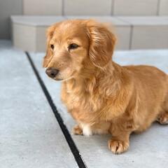 愛犬/わんこ/デカチュアダックス/ミニチュアダックス/シニア犬/ミニチュアダックスフンド/... 外に出ると眩しくて 目が半分🤔 白内障の…(2枚目)