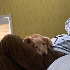 ミニチュアダックスフンド/LIMIAペット同好会/ペット/ペット仲間募集/犬/わんこ同好会/... お気に入りの寝床はお父さんの膝の上~♪