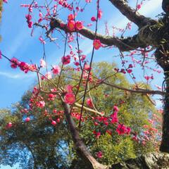 花/カメラ/LIMIAペット同好会/フォロー大歓迎/ペット/ペット仲間募集/... 奈良公園に 梅が咲いていました~♪  夜…