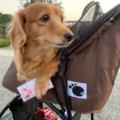 シニア犬/ミニチュアダックス/春のフォト投稿キャンペーン/LIMIAペット同好会/フォロー大歓迎/ペット/... マリンの手術が成功しますように!と去年京…