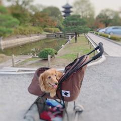 シニア犬/ミニチュアダックス/春のフォト投稿キャンペーン/LIMIAペット同好会/フォロー大歓迎/ペット/... マリンの手術が成功しますように!と去年京…(4枚目)