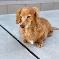 愛犬/わんこ/デカチュアダックス/ミニチュアダックス/シニア犬/ミニチュアダックスフンド/... 外に出ると眩しくて 目が半分🤔 白内障の…