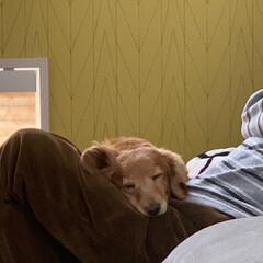 ミニチュアダックスフンド/LIMIAペット同好会/ペット/ペット仲間募集/犬/わんこ同好会/... お気に入りの寝床はお父さんの膝の上~♪(3枚目)