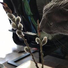 猫/ねこやなぎ/ガーデニング/暮らし 猫柳とルーク😊 小さいルークがいっぱい❣…(1枚目)
