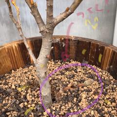 つくし/ガーデニング/ねこやなぎ/暮らし 2週間ほど前に植えたネコ柳から土筆が⁉️…(1枚目)