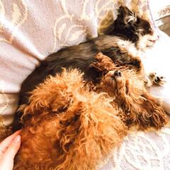 犬/ペット/お昼寝/トイプードル/チワワ お昼寝中  トイプのメリ、お腹出して寝て…