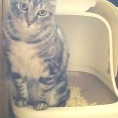 猫好き集まれ/ネコ好き/サバトラ/癒し/カワイイ/真剣/... おトイレ中ミヤちゃん🤫💕