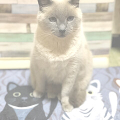 猫好き/癒し/コンテスト/コンテスト参加/コンテスト初参加/猫好き集まれ/... すけさん( ´͈ ᗨ `͈ )◞♡⃛ お…