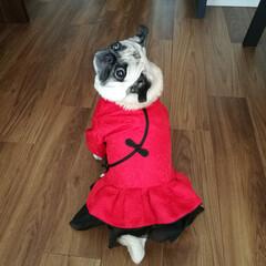 チャイナ服/中華街/トーフ/パグ/犬服/うちの子ベストショット 新しい服買いました!