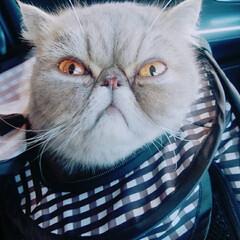 猫/猫#ねこ#ぶさかわ#エキゾチックシ... いないいないばあ😸(2枚目)