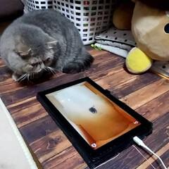 ネコ#猫#もふもふ#エキゾチック#... 楽しくて10分以上遊ぶネコ様(1枚目)